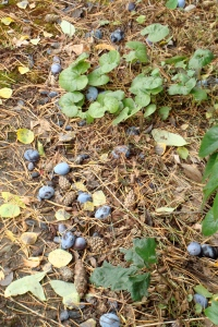 Fallen plums from our neighbor's tree last October