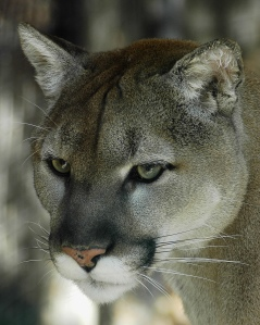 Cougar/Flickr Creative Commons/By ucumari
