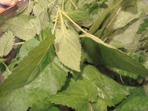 Stinging Nettles (not to be confused with wild blackberry leaves) from Willamette Park