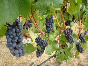 Ripening pinot noir at WillaKenzie.